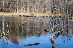 Канадские гусыни и утки на пруде - 4 крякв Стоковые Изображения RF
