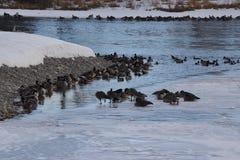 Канадские гусыни на льде около открытой воды Стоковые Изображения RF