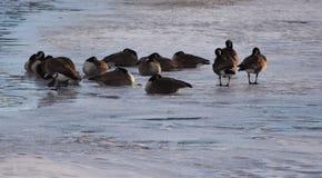 Канадские гусыни на льде около открытой воды Стоковое Изображение RF