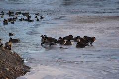 Канадские гусыни на льде около открытой воды Стоковое Изображение
