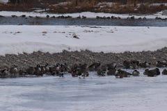 Канадские гусыни на льде около открытой воды Стоковое фото RF