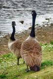 Канадские гусыни на озере Duddingston, Шотландии Стоковые Фотографии RF
