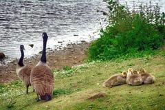Канадские гусыни на озере Duddingston, Шотландии Стоковое Изображение
