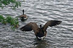 Канадские гусыни на озере Duddingston, Шотландии Стоковое фото RF