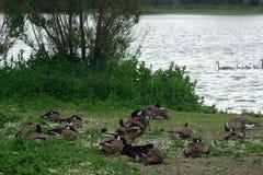 Канадские гусыни на озере Duddingston, Шотландии Стоковые Фото
