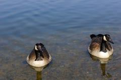Канадские гусыни плавая в открытом море Стоковое Изображение