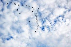 канадские гусыни полета Стоковые Изображения RF