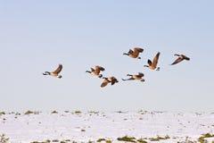 канадские гусыни полета Стоковая Фотография