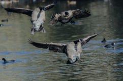 Канадские гусыни приземляясь на воду неподвижного пруда Стоковые Фотографии RF