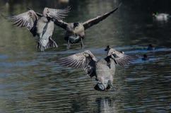 Канадские гусыни приземляясь на воду неподвижного пруда Стоковая Фотография