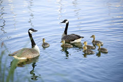 канадские гусыни семьи одичалые Стоковая Фотография RF