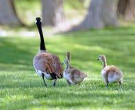канадские гусята гусыни Стоковая Фотография
