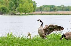 Канадские крыла flapping гусыни прибрежной полосой озера стоковые фотографии rf