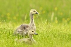 Канадские цыпленоки и семья гусыни Стоковые Изображения