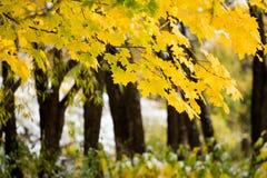 канадский клен листьев стоковая фотография