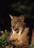 канадский портрет lynx Стоковые Изображения RF