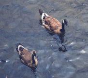 2 канадских гусыни на озере Стоковые Изображения RF