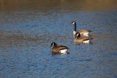 3 канадских гусыни на озере Стоковые Изображения RF