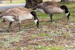 2 канадских гусыни пася для еды в парке Стоковая Фотография