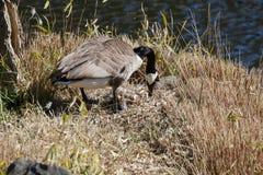 Канадское гнездо гусыни Стоковые Фото