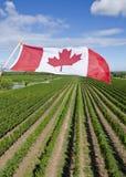 Канадское летание флага над виноградником #3 Стоковое Изображение