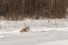Канадское canadensis рыся рыся сидит в снеге Стоковые Фото
