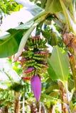 Канарская плантация банана Platano в Ла Palma Стоковая Фотография
