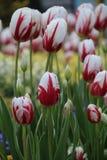 Канада 150 тюльпанов Стоковое Изображение RF