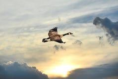 Канада Goode летая над заходом солнца Стоковое Изображение RF