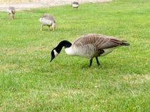 Канадская гусыня пася в траве с гусынями greylag в backgr Стоковое Фото