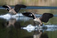 Канадская посадка гусыни на воде Стоковые Фотографии RF