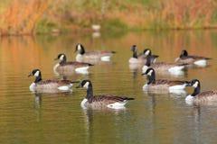 Канадские гусыни в озере Стоковое Изображение
