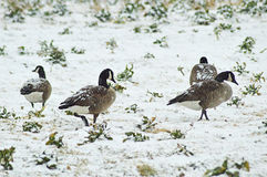 Канадские гусыни в поле заполненном снегом стоковое изображение