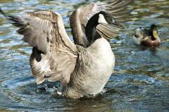 Канадские гусыни гусыни распространяя свои крыла Стоковое Фото