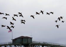 Канадские гусыни летая над американским мостом Стоковая Фотография