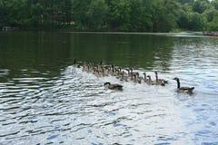 Канадские гусыни на озере 2 Стоковые Изображения