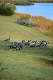 Канадские гусыни на парке Стоковые Изображения RF
