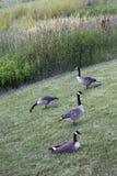 Канадские гусыни на парке Стоковые Изображения