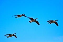 Канадские гусыни на подходе к посадки Стоковое Изображение