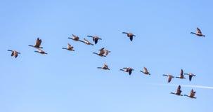 канадские гусыни полета Стоковое Изображение