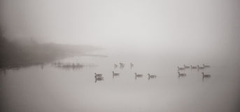 Канадские гусыни плавая в густом тумане Стоковая Фотография RF