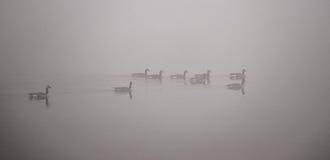 Канадские гусыни плавая в густом тумане Стоковые Фото