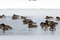 Канадские гусыни плавая в замороженное озеро Стоковые Фото