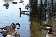 канадские гусыни плавая Стоковые Фото