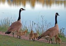 Канадские гусыни спаривают с гусятами младенца рядом с озером Sylvan в парке штата Custer в Black Hills Южной Дакоты Стоковые Фото