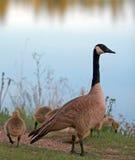 Канадские гусыни с гусятами младенца рядом с озером Sylvan в парке штата Custer в Black Hills Южной Дакоты Стоковые Изображения RF