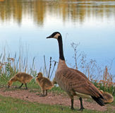 Канадские гусыни с гусятами младенца рядом с озером Sylvan в парке штата Custer в Black Hills Южной Дакоты Стоковая Фотография