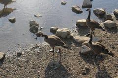 Канадские гусыни фуражируя на земле Стоковое Фото