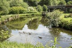 Канадские гусыни fmaily в пруде на парке страны заусенцев Стоковое фото RF