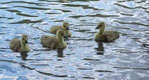 Канадские гусята гусыни плавая около Стоковое Фото